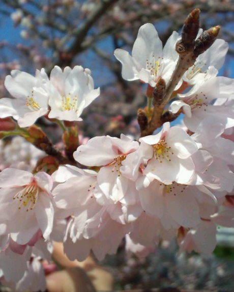 2017,4,2の桜2