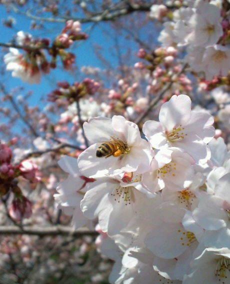 2017,4,3の桜1みつばち