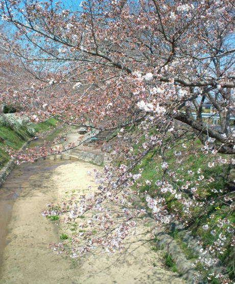 2017,4,3の桜2