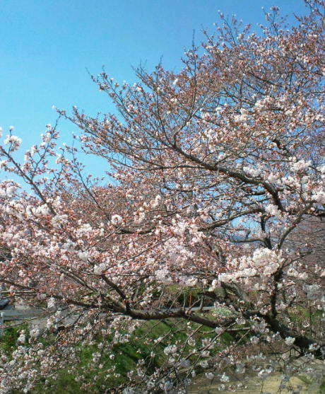 2017,4,3の桜3