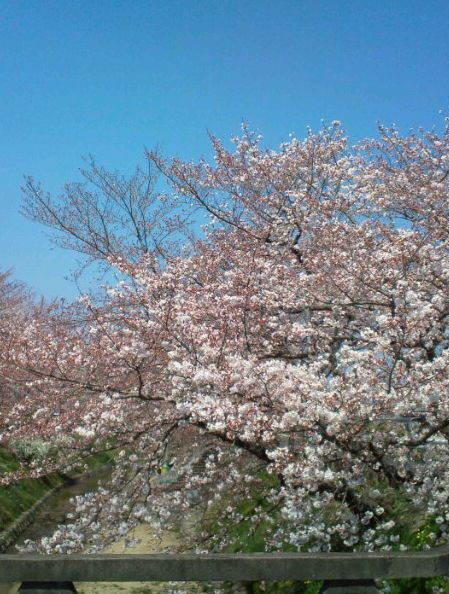 2017,4,4の桜2
