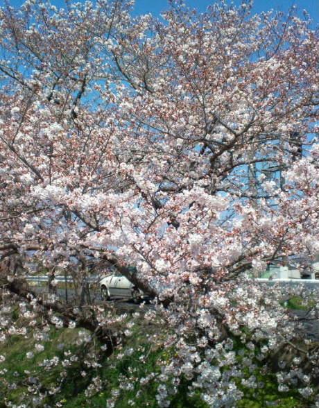 2017,4,4の桜3