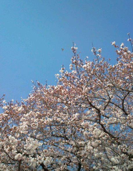 2017,4,4の桜4