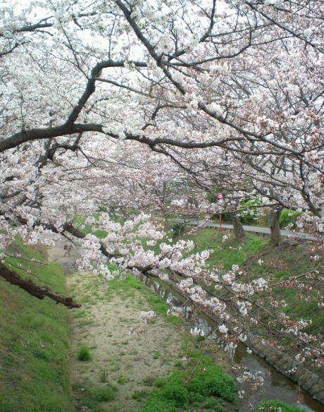 2017,4,5の桜3