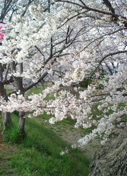 2017,4,6の桜2