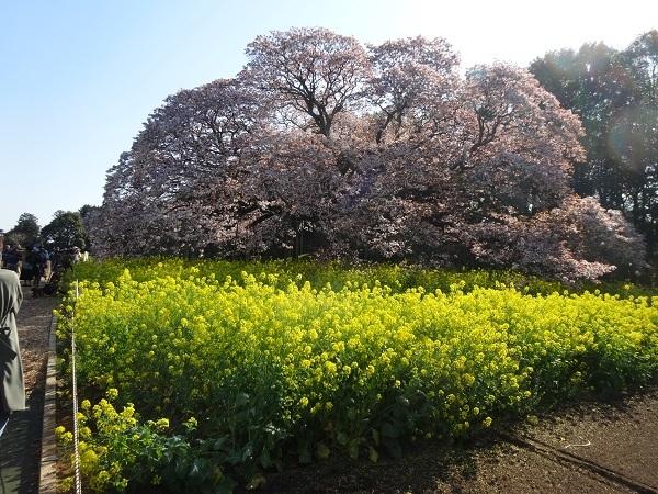 20170416吉高の大桜 (2)