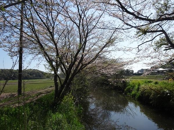 20170416吉高の大桜 (9)