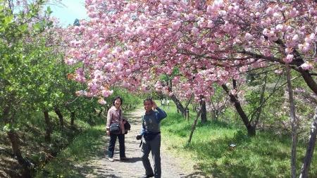 宝登山の桜関山(かんざん)