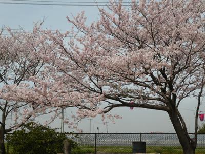 花見2017 7