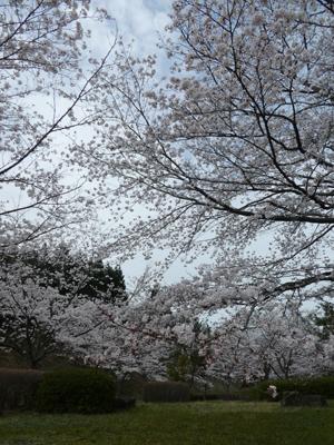 花見2017 10