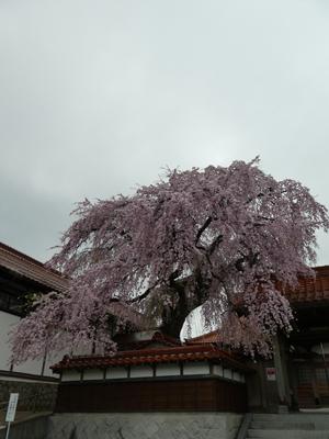 花見2017 14
