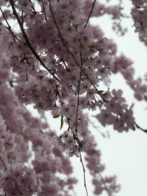 花見2017 17