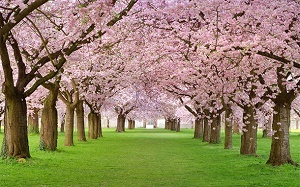 cherry-blossoms-in-bloom-dd.jpg
