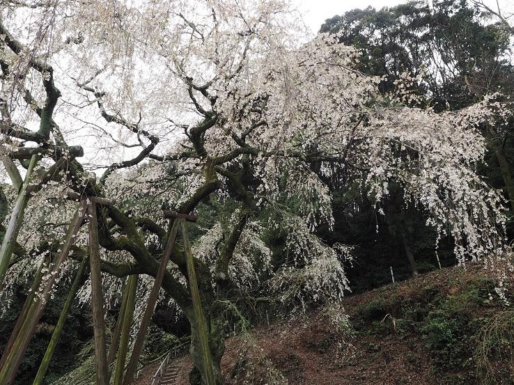 奥山田しだれ桜①