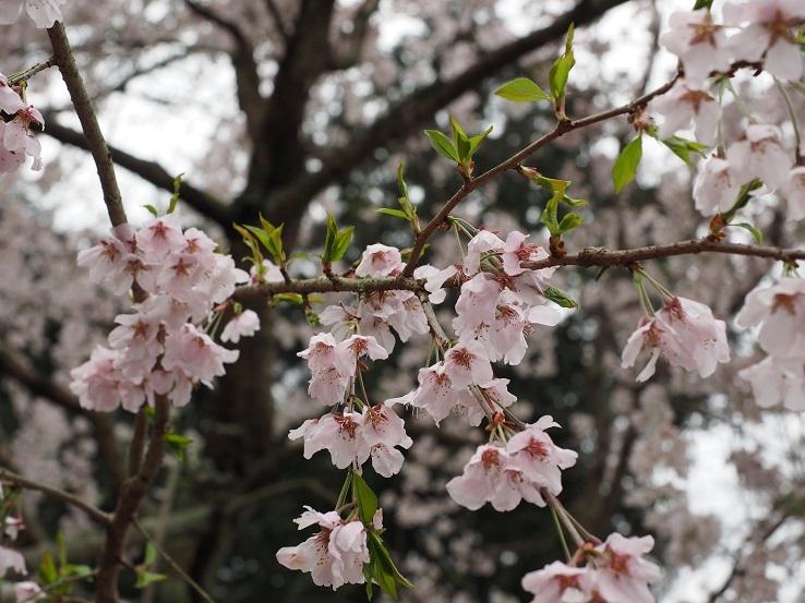 奥山田しだれ桜②
