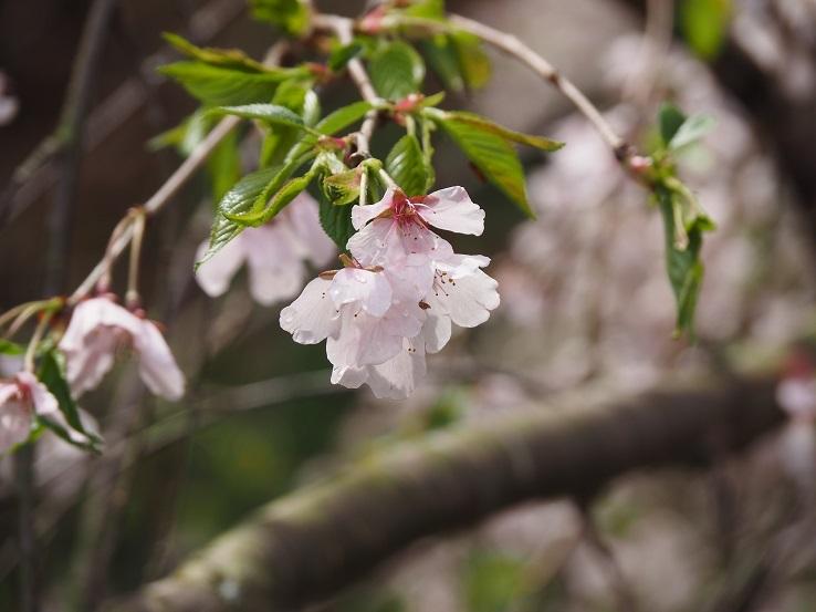 奥山田しだれ桜④