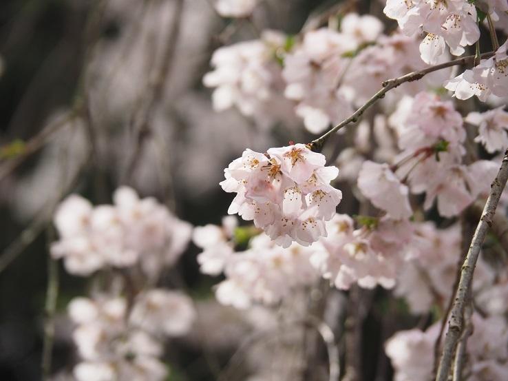 奥山田しだれ桜⑤