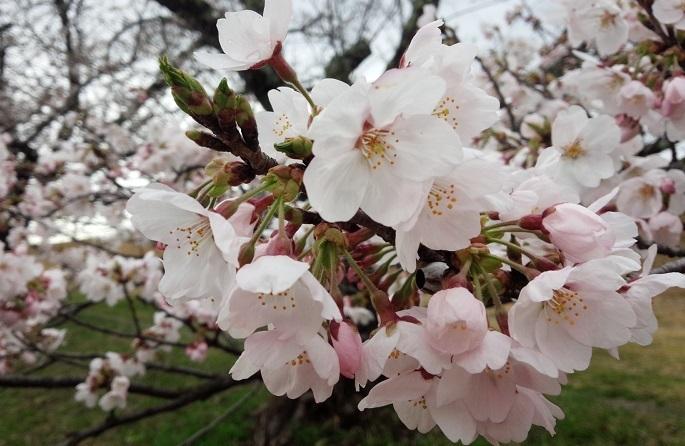2017.04ごんべ桜