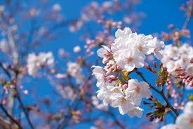 2017.04桜