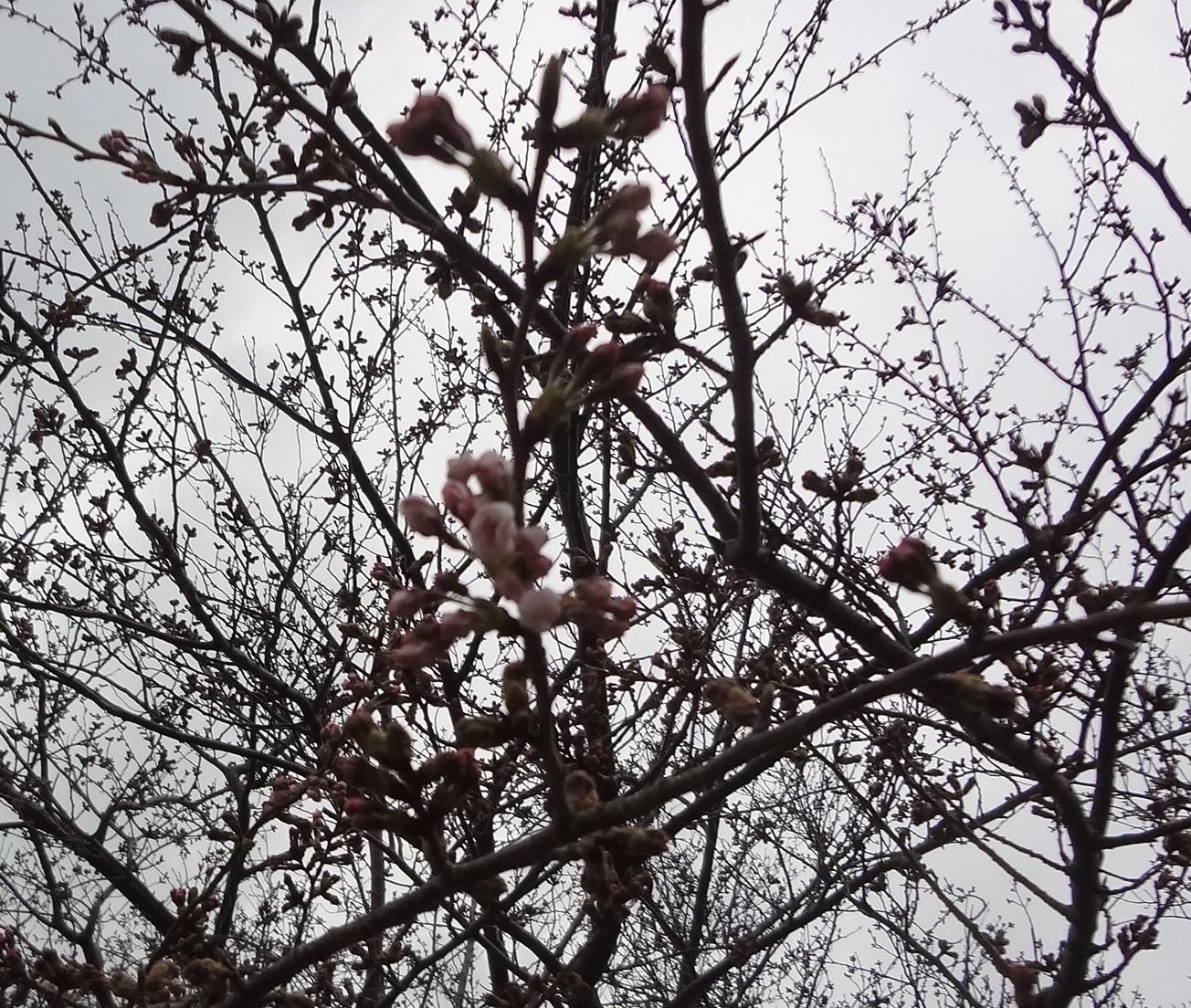 1700331西浦園地桜