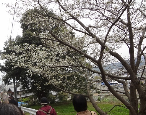 1700331西浦中前桜