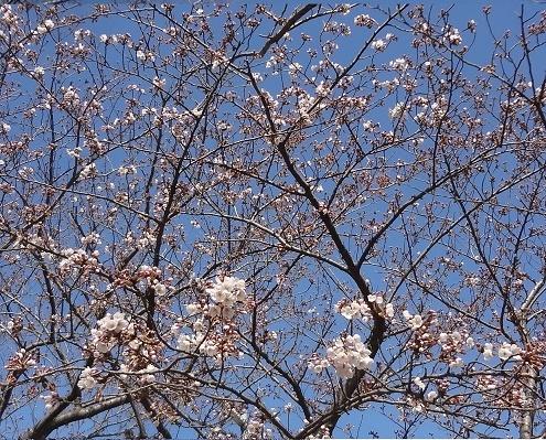 sakura開花
