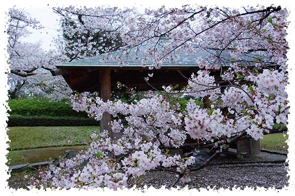舞鶴の桜3はね