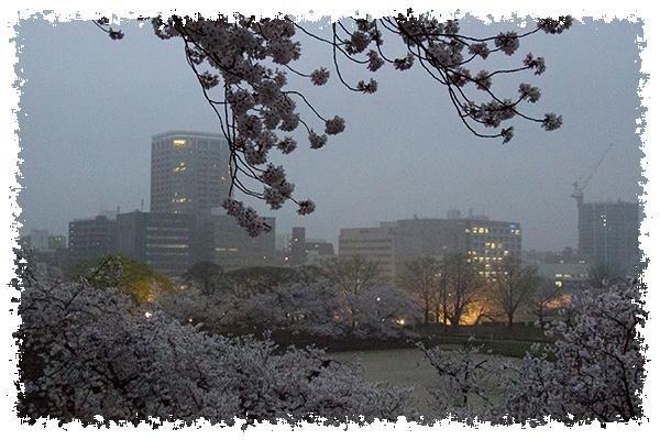 舞鶴の桜4はね