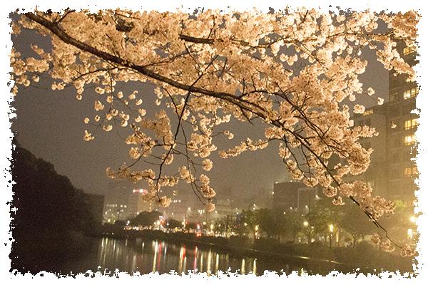 舞鶴の桜5はね
