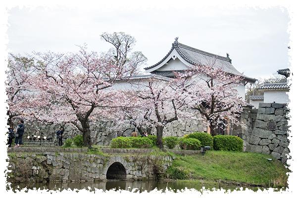 舞鶴の桜1はね