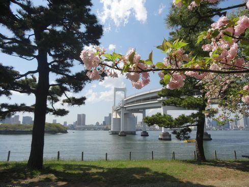 第三台場の八重桜が満開4/19