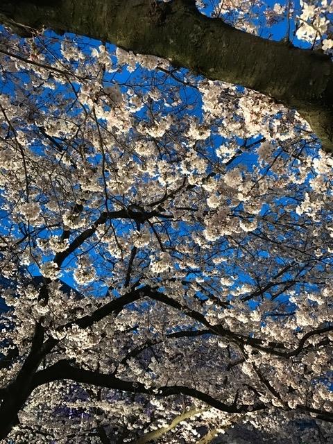 桜2017451