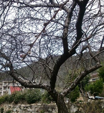 花が咲いたよ~。 枝垂れ桜