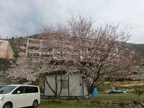 集会所の桜