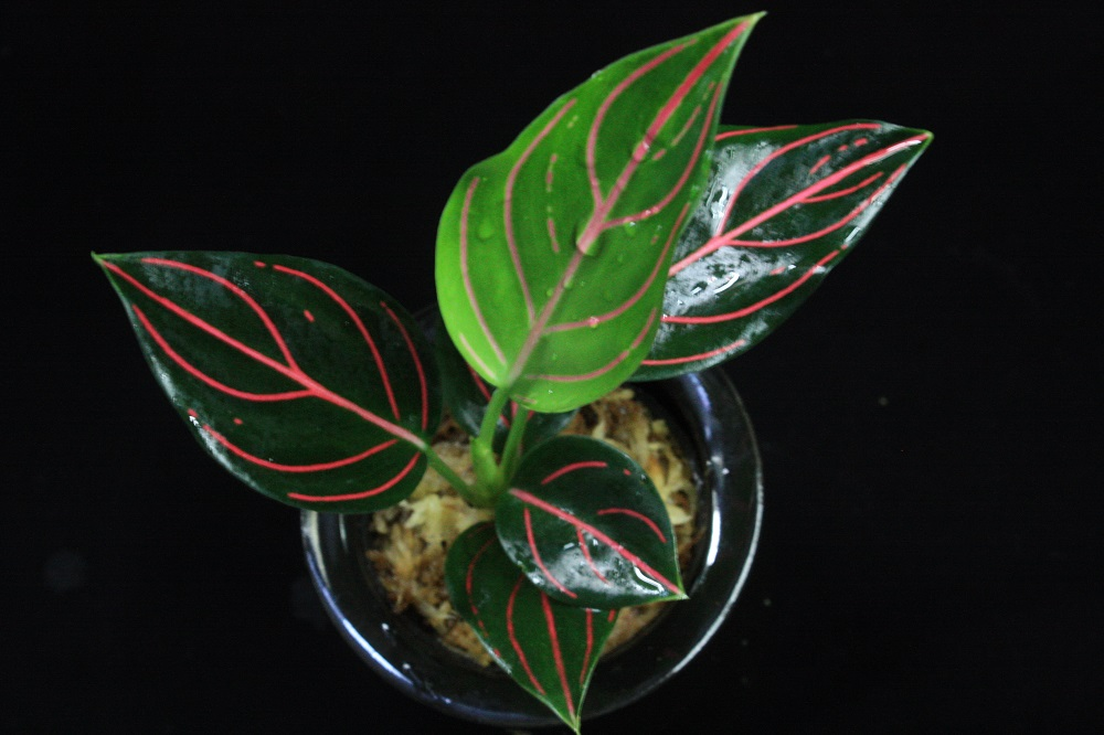Aglaonema rotundum tiger