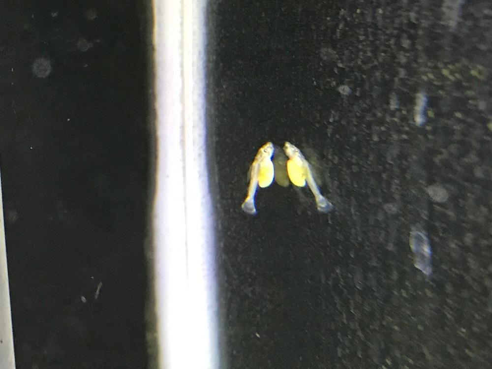 サンダーペコルティア稚魚