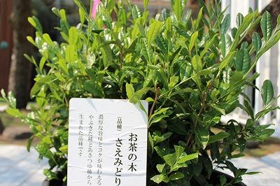お茶の品種の一つ「さえみどり」