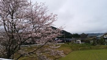 20170408桜と電車2