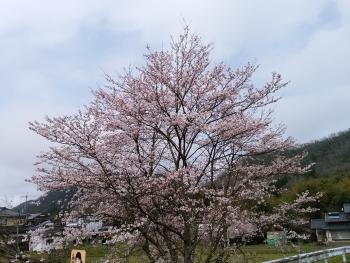 20170408桜と電車5