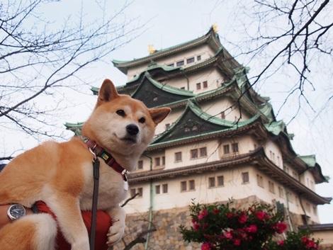 名古屋城とさくら