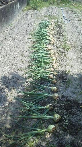 早生玉収穫