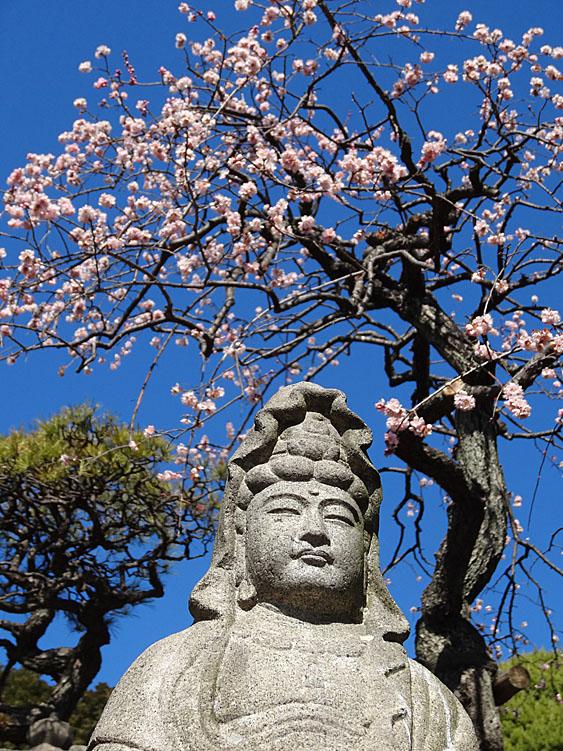 140215,梅と早咲きの桜、菜の花、辛夷の芽1