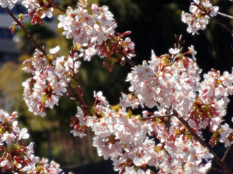 140215,梅と早咲きの桜、菜の花、辛夷の芽5