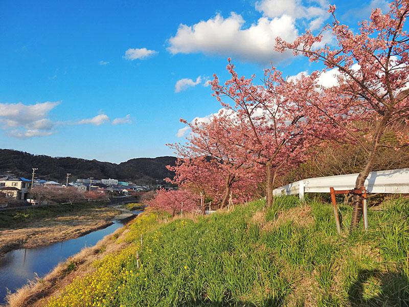 170219保田川の河津桜1