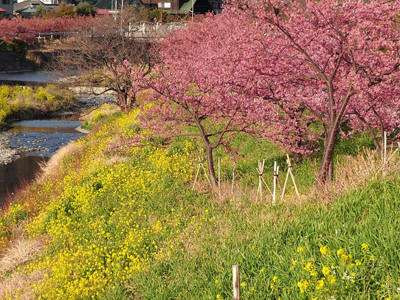 170219保田川の河津桜3