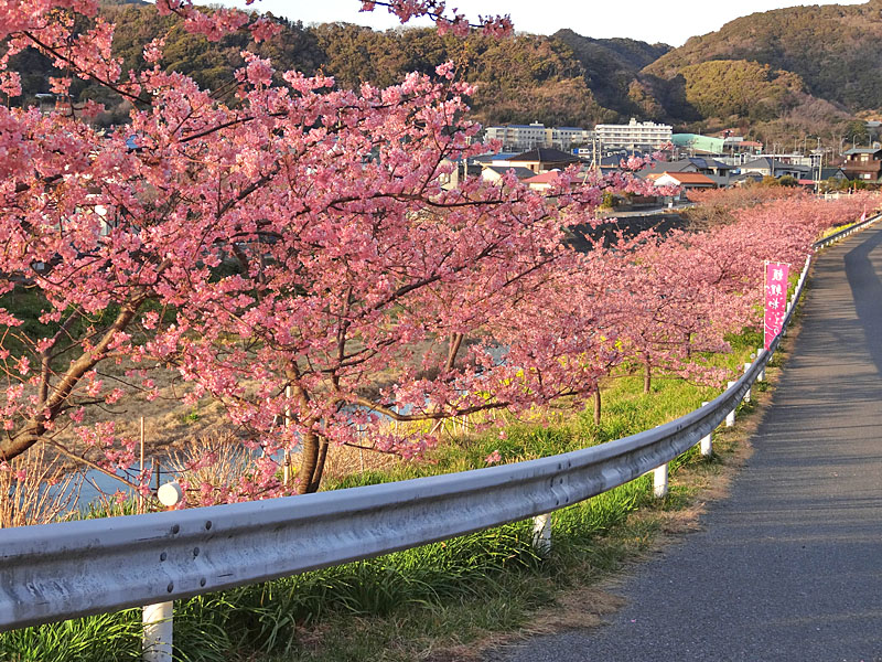 170219保田川の河津桜5