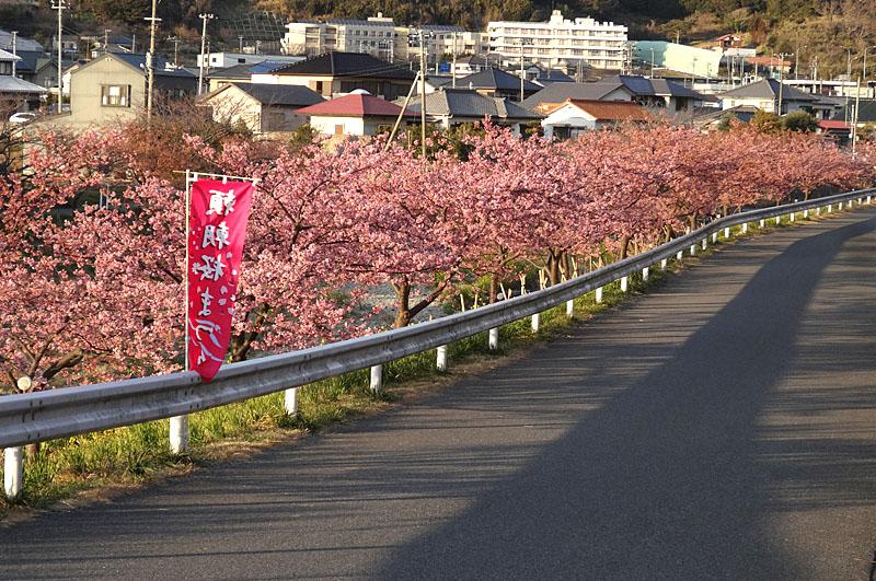 170219保田川の河津桜6