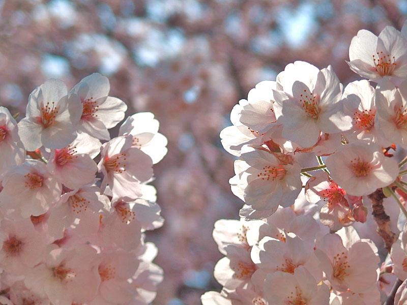 170406榎の丘と桜_5