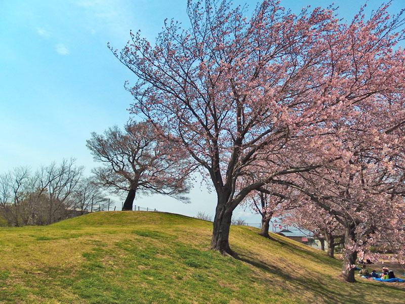 170406榎の丘と桜_3
