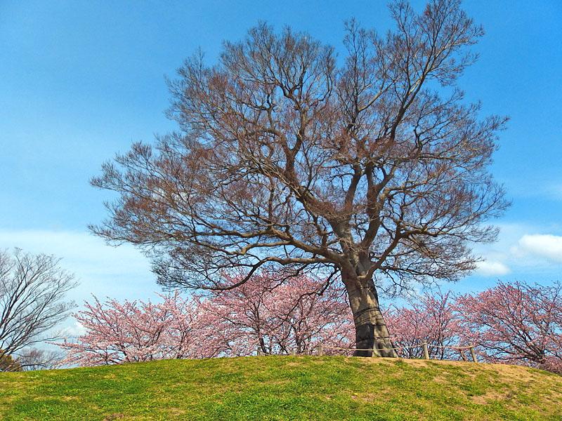 170406榎の丘と桜_2